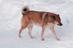 Cão desabrigado que descansa na rua e que olha a à esquerda dela, cão do vagabundo que sente deprimido e só foto de stock