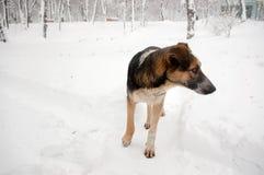 Cão desabrigado triste Imagens de Stock