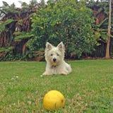 Cão desalinhado e limão Fotografia de Stock Royalty Free