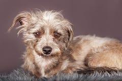 Cão desalinhado pequeno bonito Grey Background de Terrier Imagens de Stock Royalty Free