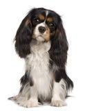 Cão descuidado do rei Charles, 14 meses velho Imagens de Stock Royalty Free