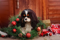Cão descuidado do spaniel de rei Charles com as decorações do Natal na casa de campo de madeira acolhedor Imagens de Stock