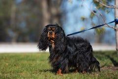 Cão descuidado do spaniel de rei Charles em uma trela fotografia de stock