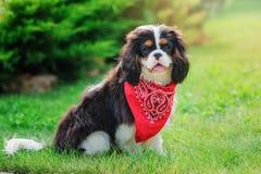 Cão descuidado do spaniel de rei Charles que senta-se no jardim do verão Foto de Stock Royalty Free