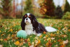 Cão descuidado feliz do spaniel de rei Charles que joga com bola do brinquedo fotos de stock royalty free