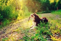 Cão descuidado Tricolor do spaniel de rei Charles que aprecia o verão e que joga com a vara na caminhada do país Foto de Stock