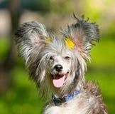 Cão desgrenhado bonito em um fundo borrado Imagens de Stock Royalty Free