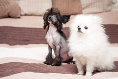 Cão desgrenhado chinês fotografia de stock