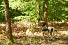 Cão dinamarquês velho do ponteiro na floresta imagem de stock royalty free