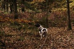 cão dinamarquês velho do ponteiro na trela do af na floresta com as folhas caídas no assoalho da floresta Imagens de Stock
