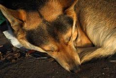 Cão disperso Fotografia de Stock