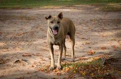 Cão disperso Imagem de Stock Royalty Free