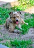 Cão disperso Imagens de Stock