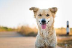 Cão disperso Foto de Stock