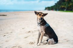 Cão disperso bronzeado e preto em uma praia em Kerala, Índia Foto de Stock Royalty Free