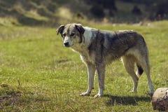Cão disperso curioso Fotografia de Stock