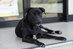 Cão disperso preto tailândia Imagem de Stock