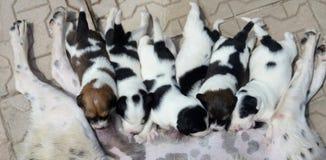 Cão disperso que alimenta lhe os cachorrinhos pequenos bonitos que estão sugando o leite Fotos de Stock Royalty Free