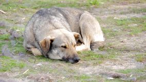 Cão disperso que descansa em um prado video estoque