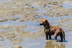 Cão disperso que está no mar Imagens de Stock