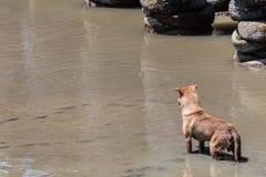Cão disperso que está no mar Imagens de Stock Royalty Free