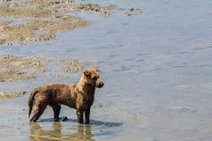 Cão disperso que está no mar Fotos de Stock Royalty Free