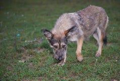 Cão disperso que olha na câmera Foto de Stock