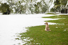 Cão disperso que senta-se na grama verde no parque coberto com a neve Fotos de Stock Royalty Free