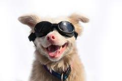 Cão do albino com óculos de sol Fotos de Stock Royalty Free