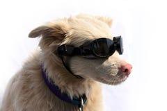 Cão do albino com óculos de sol Foto de Stock Royalty Free