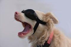 Cão do albino com óculos de sol Fotografia de Stock Royalty Free