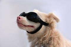 Cão do albino com óculos de sol Fotografia de Stock