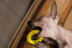 Cão do anão Cão treinado Foco macio foto de stock