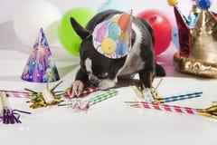 Cão do aniversário Foto de Stock