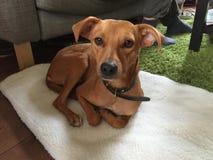 Cão do asilo Imagens de Stock