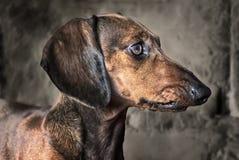 Cão do bassê Imagens de Stock
