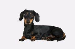 Cão do bassê Imagem de Stock