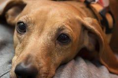 Cão do bassê de Brown Fotografia de Stock Royalty Free