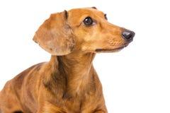 Cão do bassê que olha um lado imagem de stock