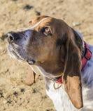 Cão do Bassett Foto de Stock Royalty Free