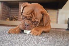 Cão do Bordéus foto de stock royalty free