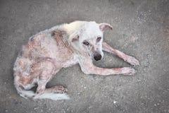 Cão do branco da sarna Fotos de Stock