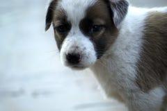 Cão do branco de Brown Imagens de Stock Royalty Free