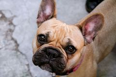 Cão do buldogue consideravelmente francês imagem de stock royalty free