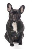Cão do buldogue francês Imagens de Stock Royalty Free