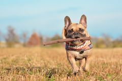 Cão do buldogue francês que veste um lenço em torno do pescoço que corre para a câmera que joga o esforço com a vara de madeira n foto de stock