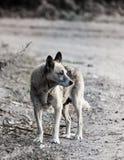 Cão do cão Imagens de Stock Royalty Free