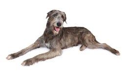 Cão do cão caçador de lobos irlandês do puro-sangue Fotografia de Stock