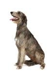 Cão do cão caçador de lobos irlandês em um fundo branco Fotografia de Stock