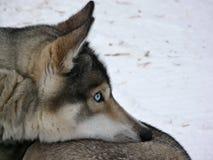 Cão do cão de puxar trenós dos olhos azuis Fotos de Stock